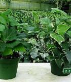 algerian green variegated