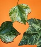 algerian variegated