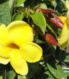 allamanda bloom