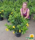 allamanda bush