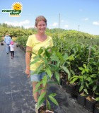 allspice plant bush tree pimenta dioica