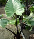 alocasia black stem