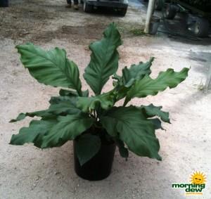 anthurium fruffles