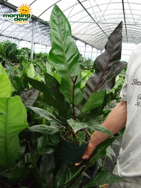 Anthurium Morning Dew Tropical Plants