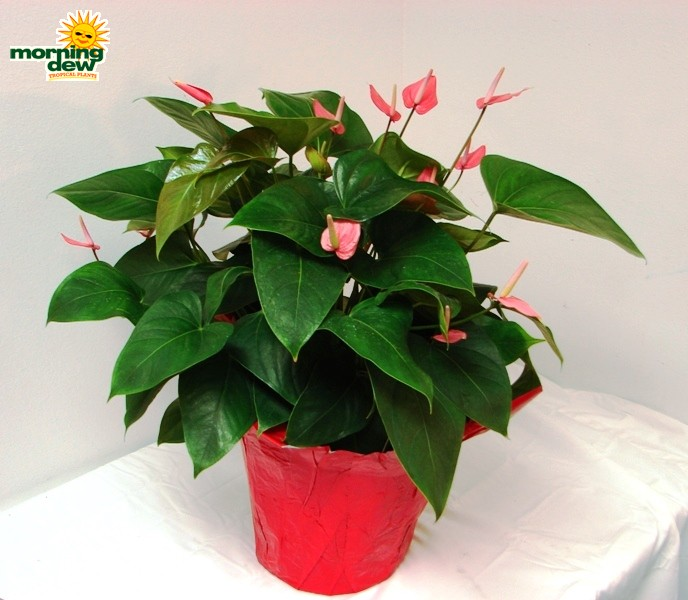 Flowering morning dew tropical plants for Anthurium rosa