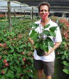 anthurium red hot