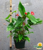 anthurium red rocket