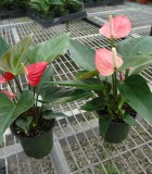 anthurium small talk