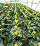aphelandra dania zebra plant
