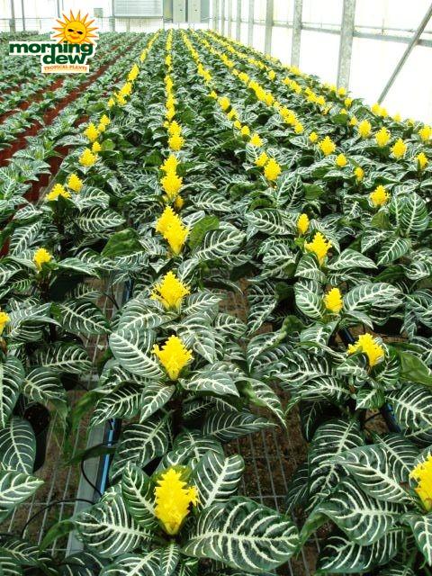 Flowering - Morning Dew Tropical Plants