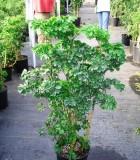 aralia celery leaf