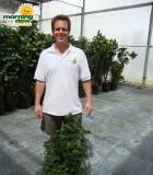 aralia parsley