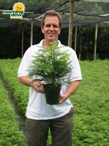araucaria norfolk island pine