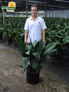 aspidistra cast iron plant