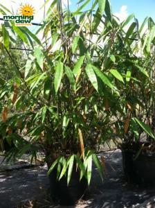 bamboo black diamond