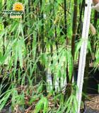 bamboo lako