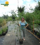 bamboo maligensis