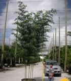 bamboo phyllostachys aurea