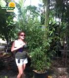 bamboo phyllostachys nigra henon
