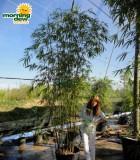 bamboo textilis gracilis