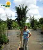 bamboo textilis mutabilis