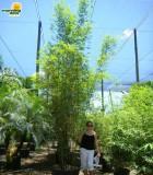 bamboo textillis gracillis