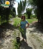 bamboo vulgaris vittata