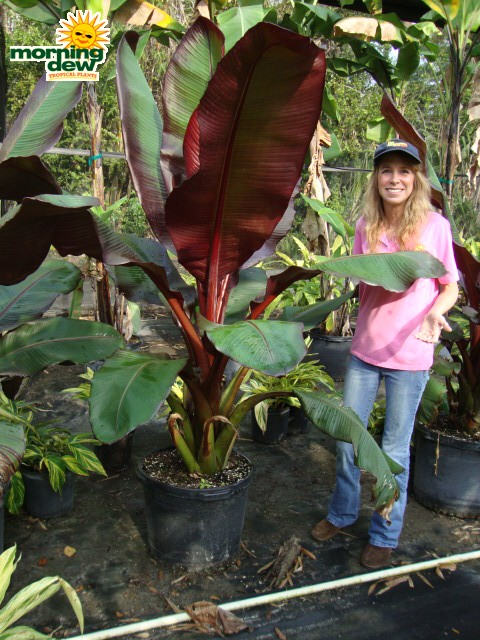 Banana Morning Dew Tropical Plants