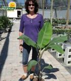 banana thai black plant