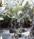 banana thai black