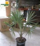 bismarkia palm silver