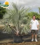 bismarkia silver palm