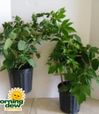 blackberry raspberry bush fruit plant