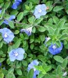 blue daze evolvulus