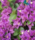 bougainvillea bloom