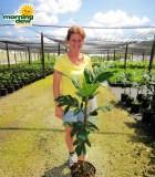 breadfruit plant tree