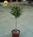 breynia standard tree