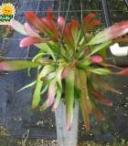 cactus diso hanging basket