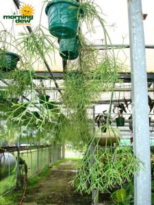 cactus mistletoe rhipsalis baccifera