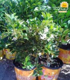 calamondin orange bush plant citrus