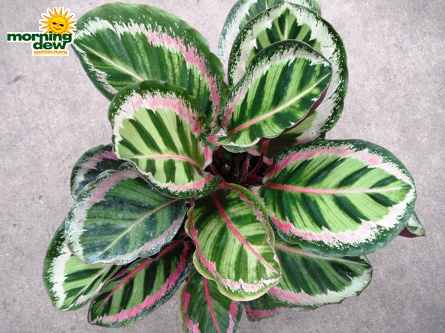 calathea morning dew tropical plants. Black Bedroom Furniture Sets. Home Design Ideas