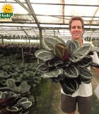 calathea roseo picta