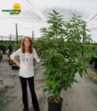 canela bush