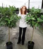 canela tree