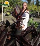 canna lily australia