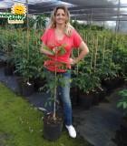 carambola averrhoa carambola tree fruit plant