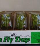 carnivorous venus fly trap