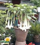 caseys brugmansia