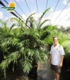 cataractarum palm