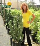 cereus monstrosus cactus